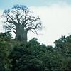 Bayobob tree    Tanzania 1983