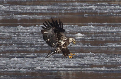 "I'm not sure what this ""excercise"" is all about. In this photo, the immature eagle is just about to pick up a chunk of ice. ""He"" then flies off with it in the next four pictures. I guess that maybe this is just good practice for catching and holding on to fish??"