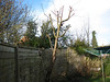 Cherry tree after pruning.