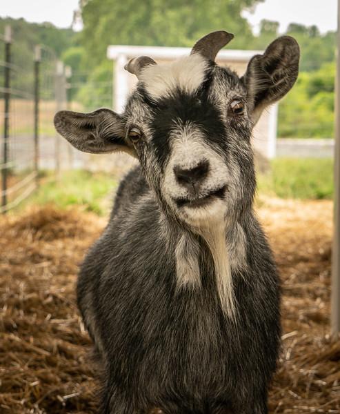 Goat Portrait-58