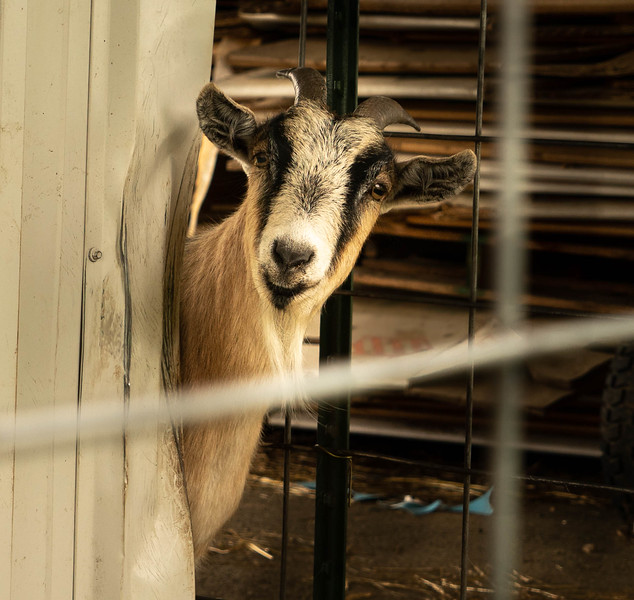 Goat Portrait 2-60