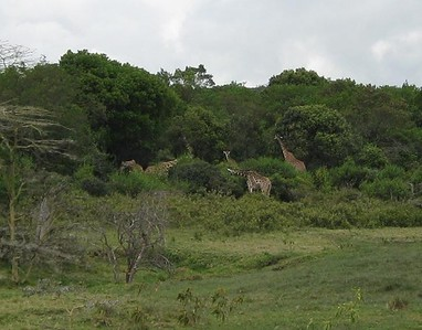 Giraffes along the trail as we start our hike