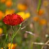 Red wild poppie