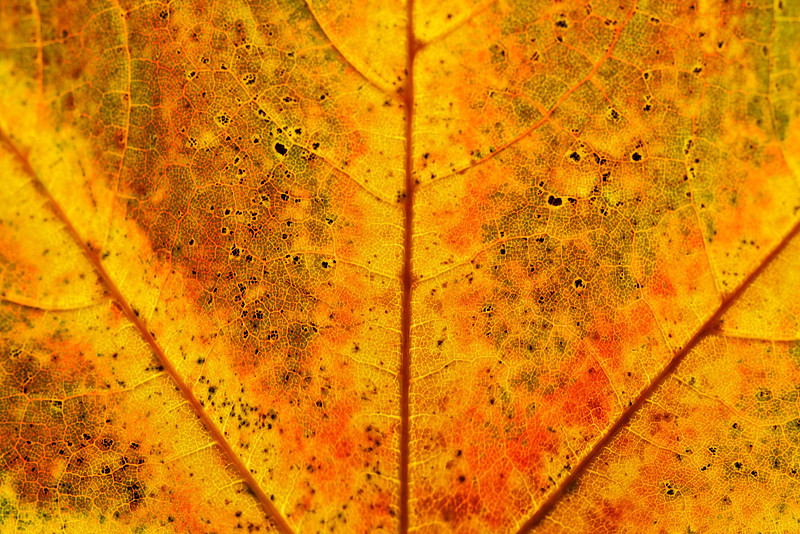 Fall color patterns of a maple leaf.