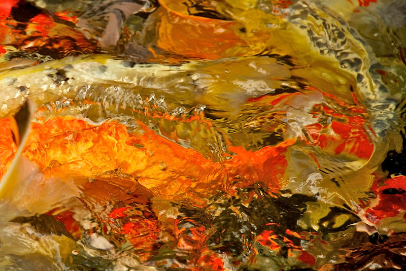 """Water Color"" created by Koi fish in a pond."