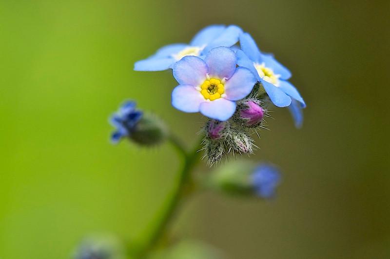 """Forget-Me-Not"" garden flower."