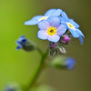 """Forget-Me-Not"" garden flower."