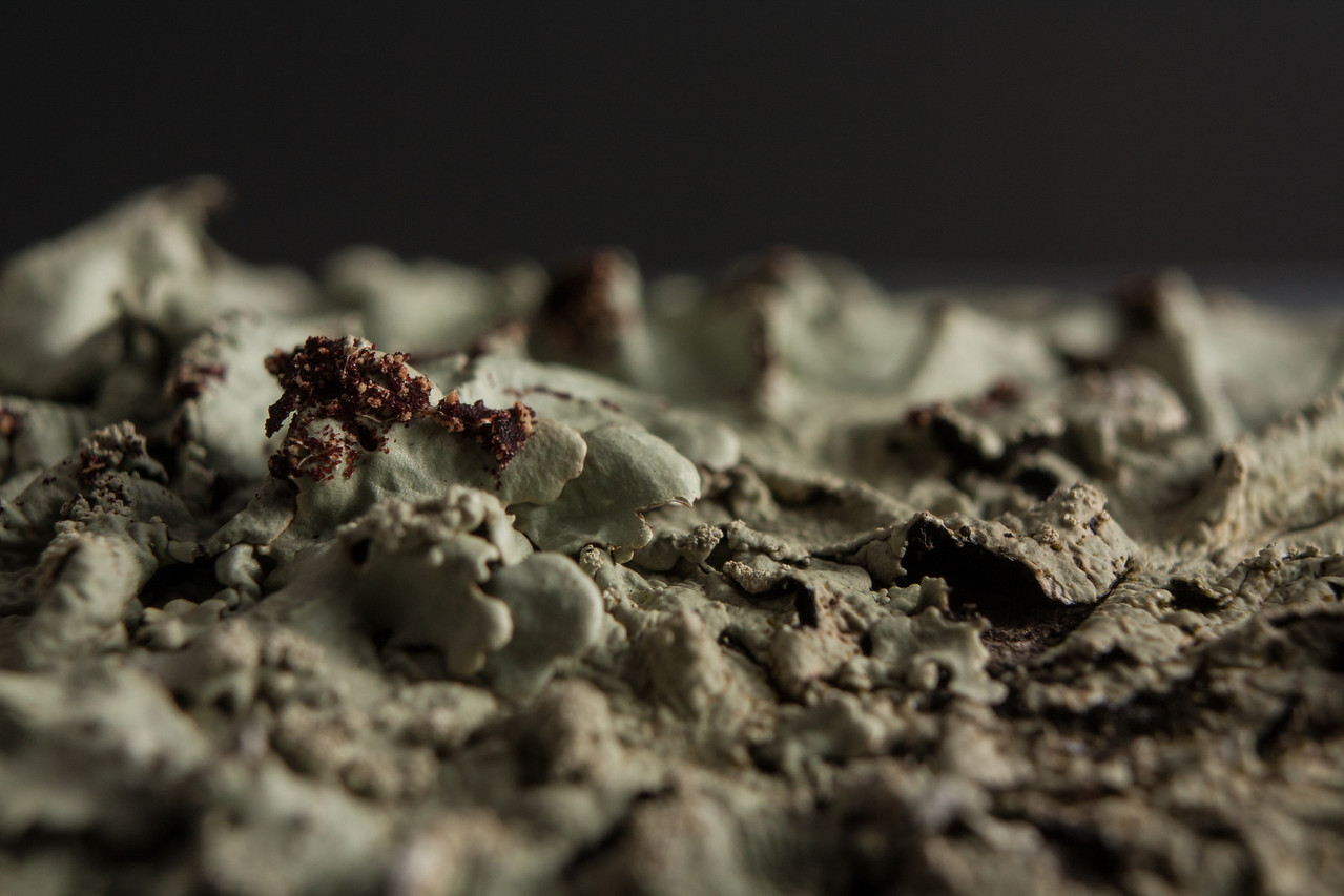 Lichen close up in the cardboard box light tent.  Canon XSi with kit lens and extension tube.  Off-camera flash.