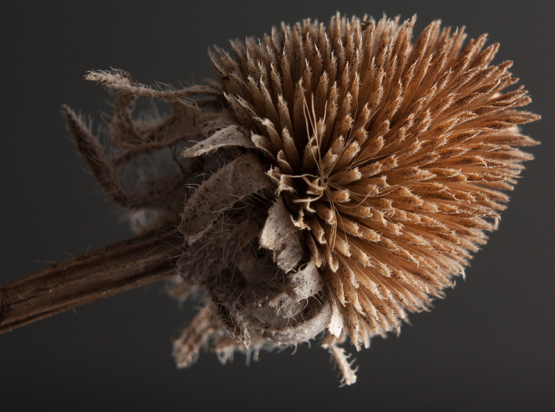 Dried coneflower close up in the cardboard box light tent.  Canon XSi with kit lens and extension tube.  Off-camera flash.