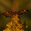 Meadow Brook Moth
