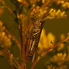 Meadow Hopper
