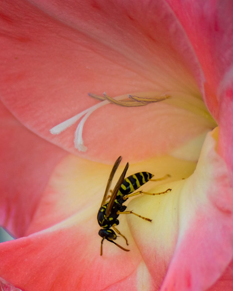 Wasp & Gladiola