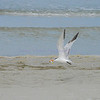 Tern with fish<br /> <br /> St. Pete Beach, Florida