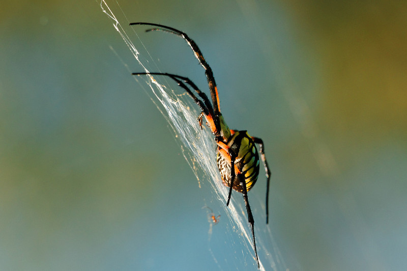 Black and Yellow Argiope - Writing Spider