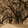 Live Oaks - Santee Coastal Preserve