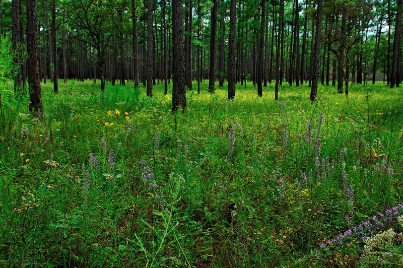 Pine Forest - Santee Coastal Preserve