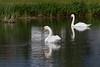 Swans in Commanda Lake in Cochrane
