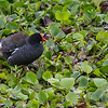 Moorhen, Brazos Bend State Park, March 2013