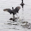 American Coot, Brazos Bend State Park, March 2013