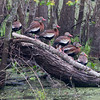 Black-Bellied Whistling Ducks, Brazos Bend State Park, March 2013