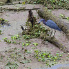 Little Blue Heron, Brazos Bend State Park, March 2013