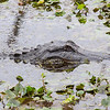 American Alligator, Brazos Bend State Park, March 2013