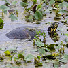 Turtle, Brazos Bend State Park, March 2013