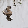 Pied Billed Grebe, Brazos Bend State Park, March 2013