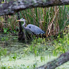 Great Blue Heron, Brazos Bend State Park, March 2013