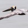 Brown Pelican, Galveston, TX, March 2013