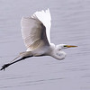 Great Egret, Brazos Bend State Park, March 2013