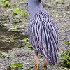 Yellow-Crowned Night Heron, Brazos Bend State Park, March 2013