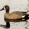 Blue Winged Teal Duck, Brazos Bend State Park, March 2013