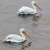 American White Pelican, Galveston, TX, March 2013