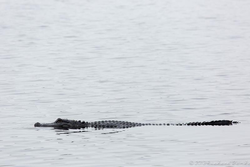 American Alligator, Brazos Bend State Park, March 2013