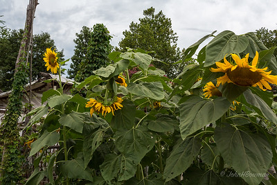 Giant Sunflowers at Colonial Garden & Nursery