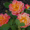 Joyce's Rose, propagated in Astoria by Joyce, and brought to Grants Pass.