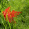 Red Leaf Under Glass, Under Grass