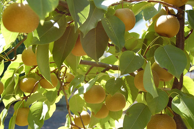 Our Asian pears.