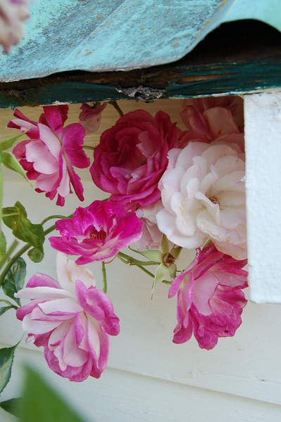 Little pink roses under the eaves of the pump house.
