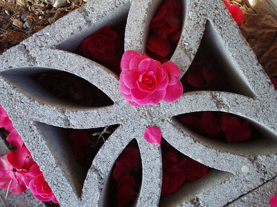 Camelia on Concrete, exactly as it fell from the tree. Note petals also inside the brick. Just as they fell, too.
