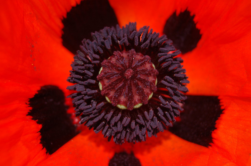Center of Oriental Poppy