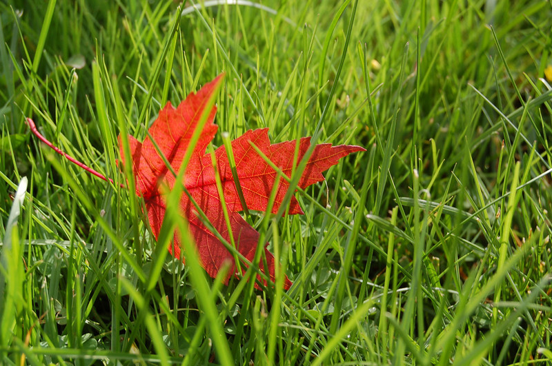 JUST as I found it, a red leaf in our green grass.
