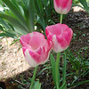 Pink tulips under the apple tree.