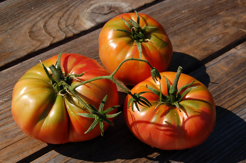 Three beautiful tomatoes from the garden, morning sept<br /> If these colors don't thrill you, something's wrong! :)