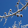 Winter on Liquid Amber pods