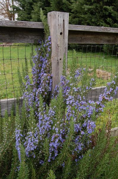 Blake and Tshuenda's little rosemary plant, now in full bloom.