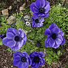 Blue Poppy Anemone w/ Poster effect