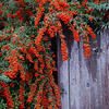 Pyracantha on Fence in Grants Pass. I wanted to make this in to a Christmas card...it has the perfect place to write a greeting.