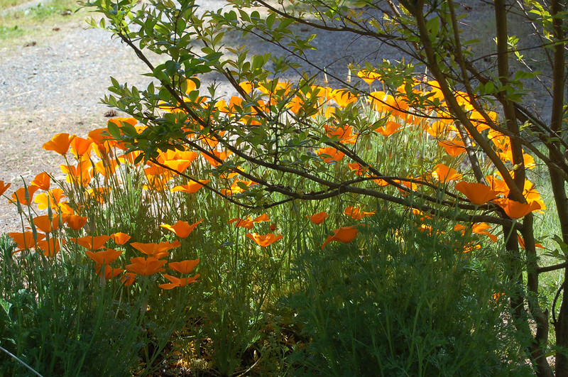 California Poppies under the Crape Myrtle